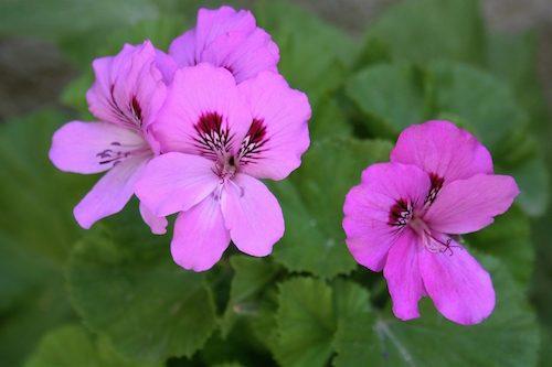 Huile essentielle de Geranium Rosat
