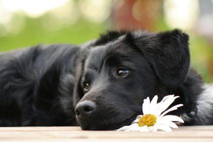 puces des chiens