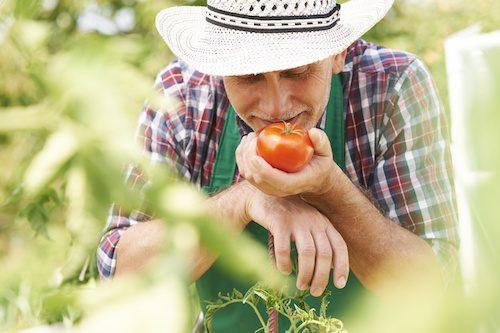 Maladies des tomates